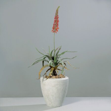 kwitnący aloes 141 cm