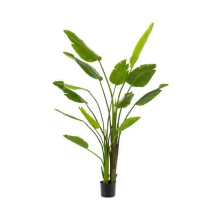 strelitzia nicolai 180 cm
