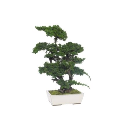 Bonsai rośliny stabilizowane