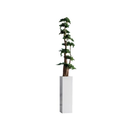 jumbo juniperus 100 cm